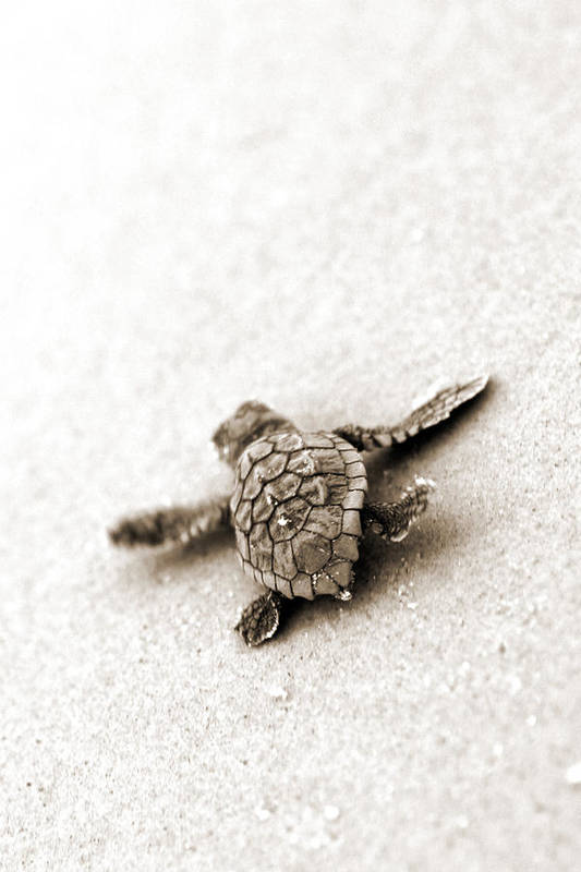 Loggerhead Turtle! Hilton Head Island Art Print featuring the photograph Loggerhead by Michael Stothard
