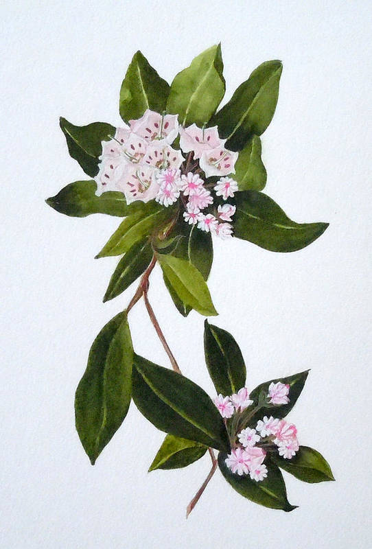 Mountain Laurel Art Print featuring the painting Mountain Laurel by Jean Blackmer