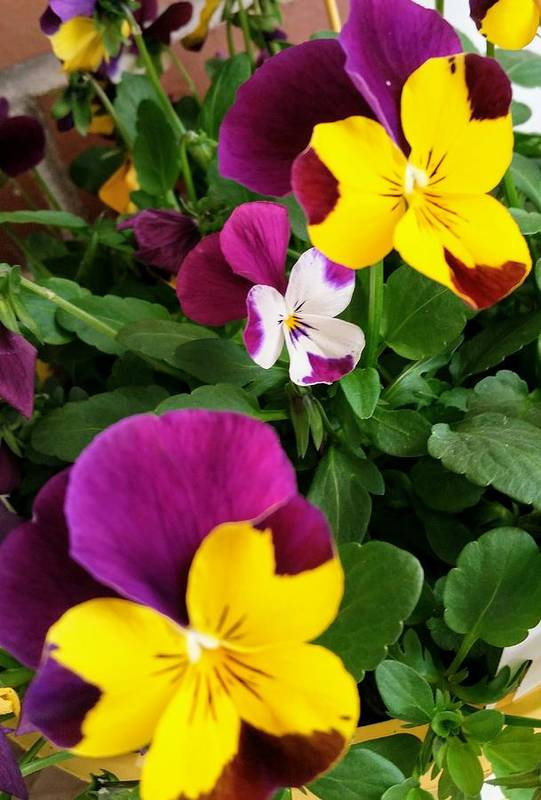 Pansies Art Print featuring the photograph Pansies 3 by Valerie Josi