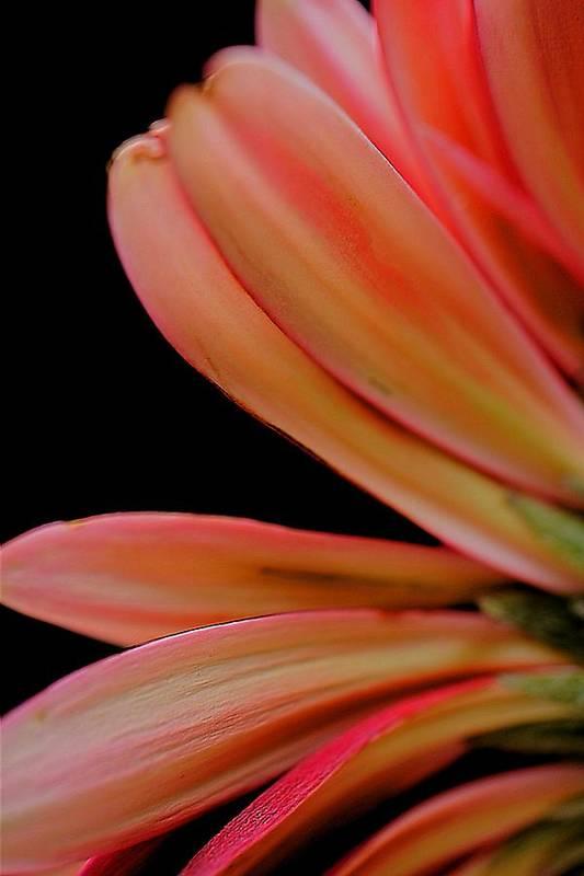 Petals Art Print featuring the photograph Petals by Beth Akerman