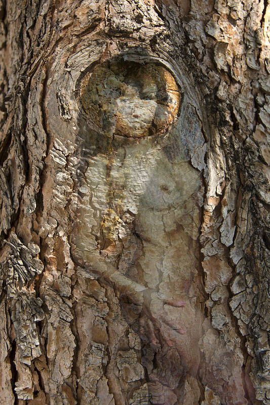 Tree Art Print featuring the photograph Pine Tree Nymph by Richard Henne