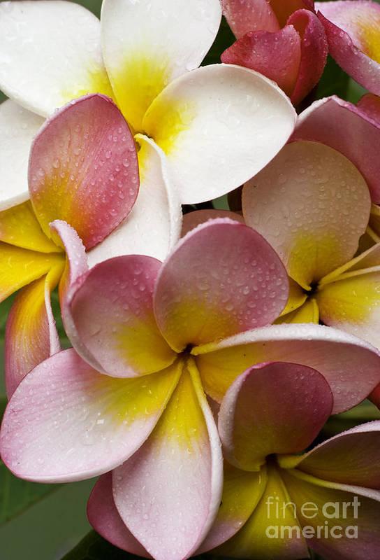 Pink Frangipani Art Print featuring the photograph Pink frangipani by Sheila Smart Fine Art Photography