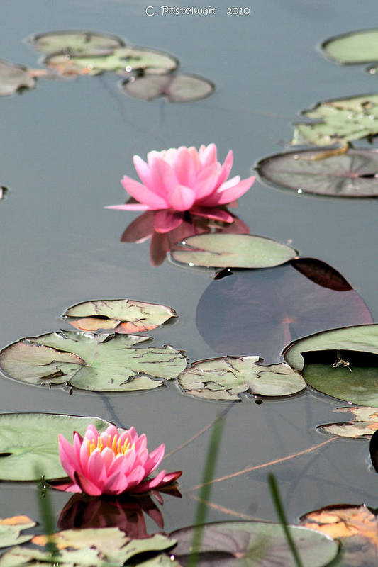 Ponds Art Print featuring the photograph Pond Lilies 2 by Carolyn Postelwait