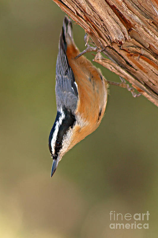 Nuthatch Art Print featuring the photograph Red-breasted Nuthatch Upside Down by Max Allen
