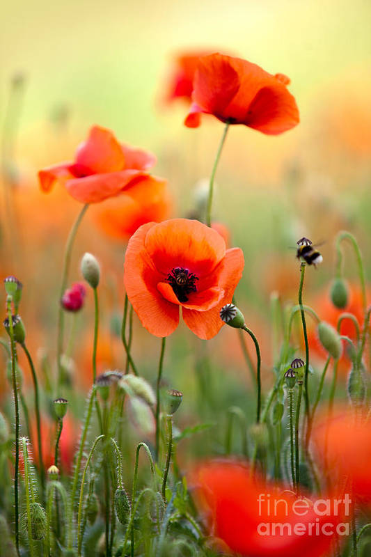 Poppy Art Print featuring the photograph Red Corn Poppy Flowers 06 by Nailia Schwarz