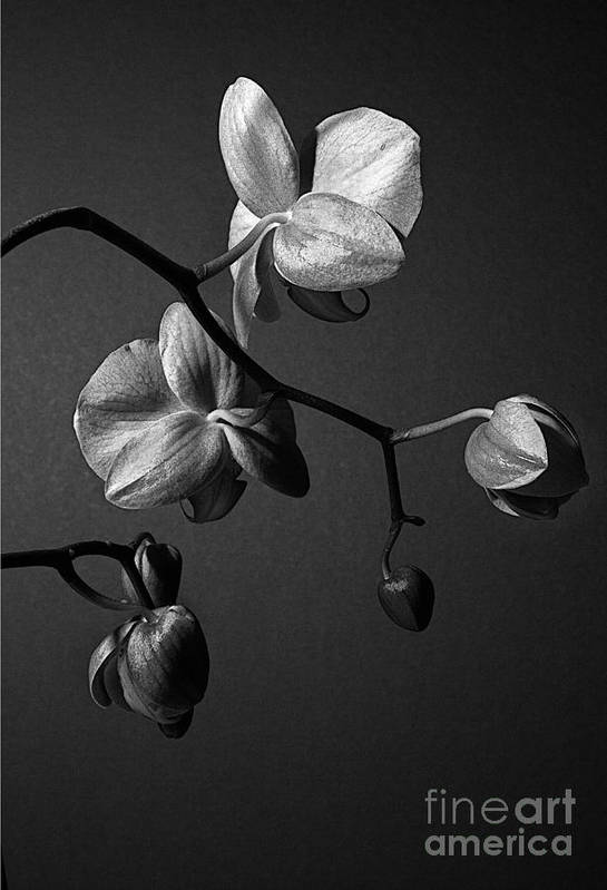 Orchid Art Print featuring the photograph Scotopic Vision 3 - Orchid by Pete Hellmann