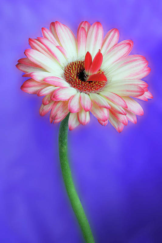 Flowers Art Print featuring the photograph Sprouting dahlia by Marla Craven