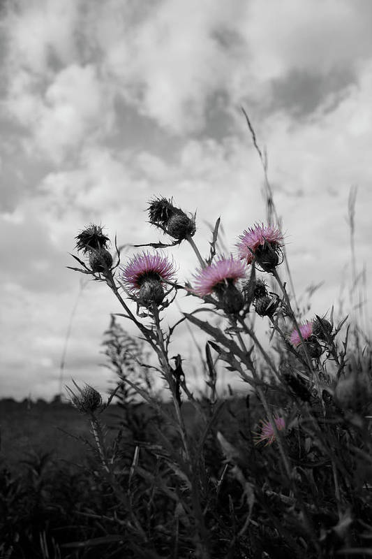 Thistle Art Print featuring the photograph Thistle by Dylan Punke