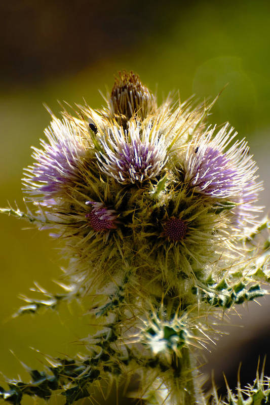 Thistles Art Print featuring the photograph Thistles by Richard Henne