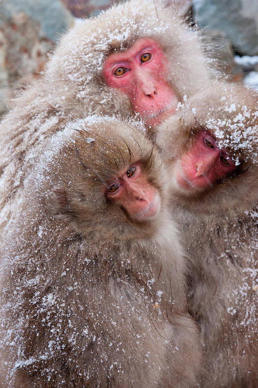 Vertebrate Art Print featuring the photograph Japanese Macaques, Japanese Alps by Mint Images/ Art Wolfe