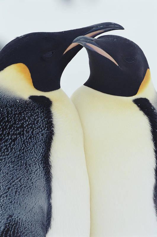 Emperor Penguin Art Print featuring the photograph Two Emperor Penguins Aptenodytes by Joseph Van Os