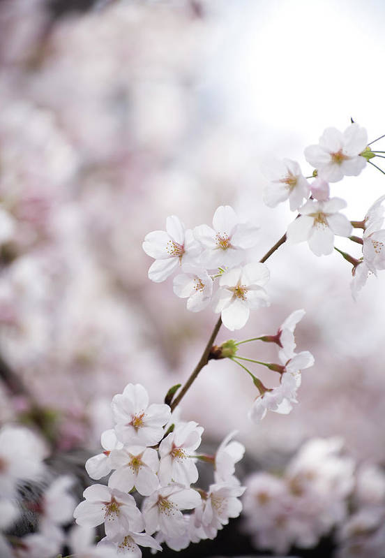 Celebration Art Print featuring the photograph Cherry Blossoms by Ooyoo