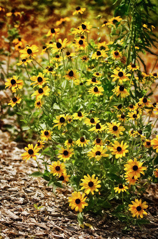 Rockville Art Print featuring the photograph A Group Of Bossoming Black-eyed Susans by Maria Mosolova