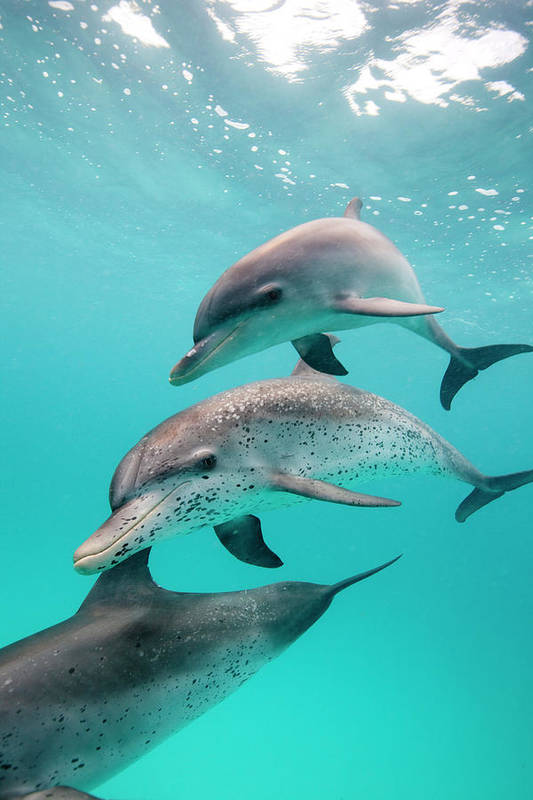 Underwater Art Print featuring the photograph Atlantic Spotted Dolphin Stenella by Stephen Frink