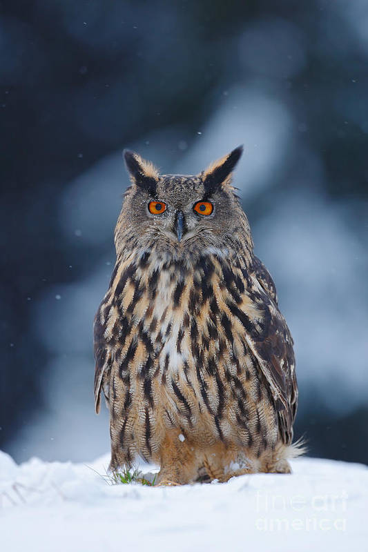 Big Art Print featuring the photograph Big Eurasian Eagle Owl With Snowflakes by Ondrej Prosicky