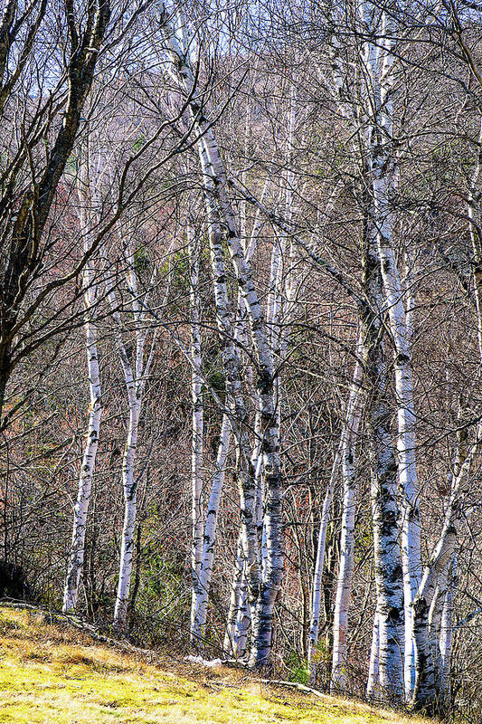 Trees Art Print featuring the photograph Birch Trees - Tannersville, NY by Tom Romeo