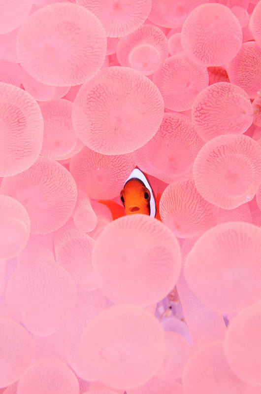 Underwater Art Print featuring the photograph Clownfish In Corals by Yusuke Okada/a.collectionrf