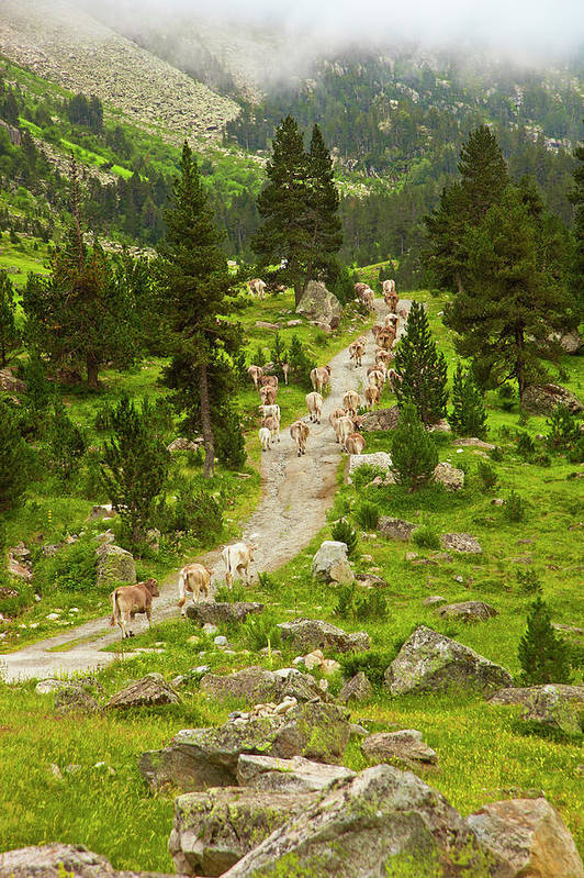 Catalonia Art Print featuring the photograph Cows Walking In Catalan Pyrenees by Gonzalo Azumendi