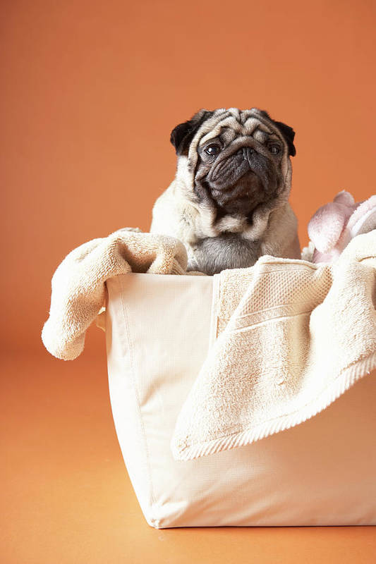 Pets Art Print featuring the photograph Dog In Basket by Chris Amaral