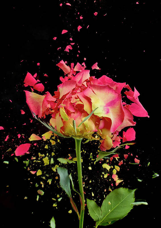 Black Background Art Print featuring the photograph Exploding Rose by Don Farrall