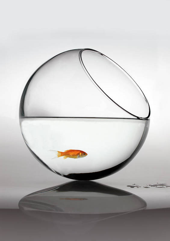 White Background Art Print featuring the photograph Fish In Fish Bowl Stressed In Danger by Paul Strowger