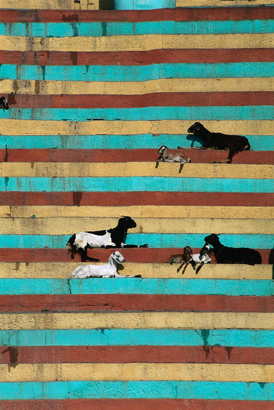 Steps Art Print featuring the photograph Goats Resting On The Tulsi Ghats by Anders Blomqvist