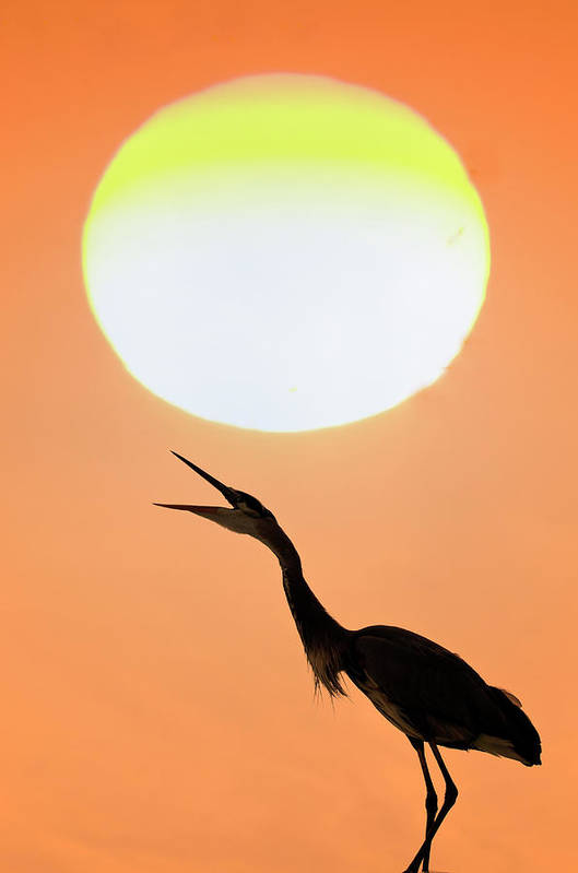Animal Themes Art Print featuring the photograph Great Blue Heron, Screeching, Sunset by Mark Newman
