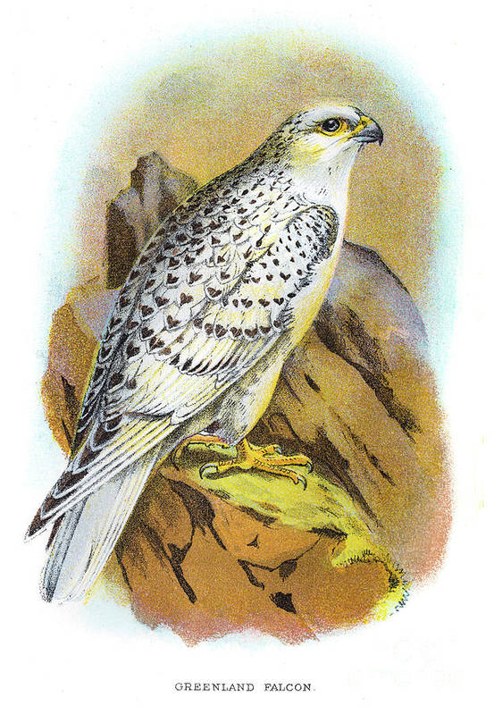 Engraving Art Print featuring the digital art Greenland Falcon Engraving 1896 by Thepalmer