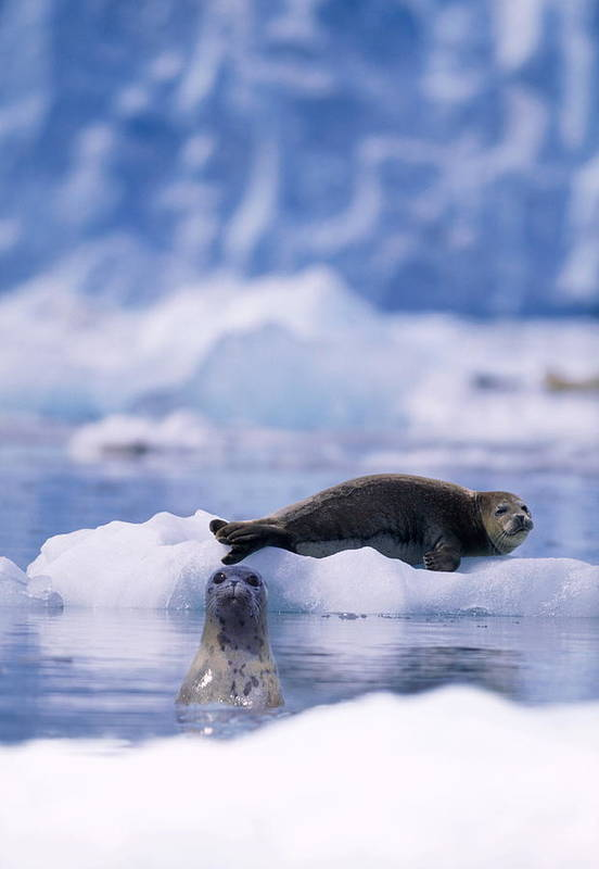Animal Themes Art Print featuring the photograph Harbor Seal Phoca Vitulina In Glacial by Paul Souders