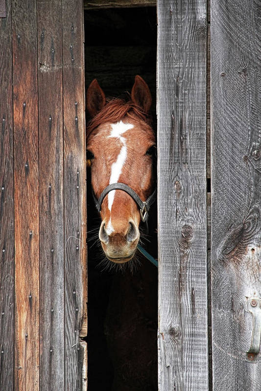 Horse Art Print featuring the photograph Horse Peeking Out Of The Barn Door by 2ndlookgraphics