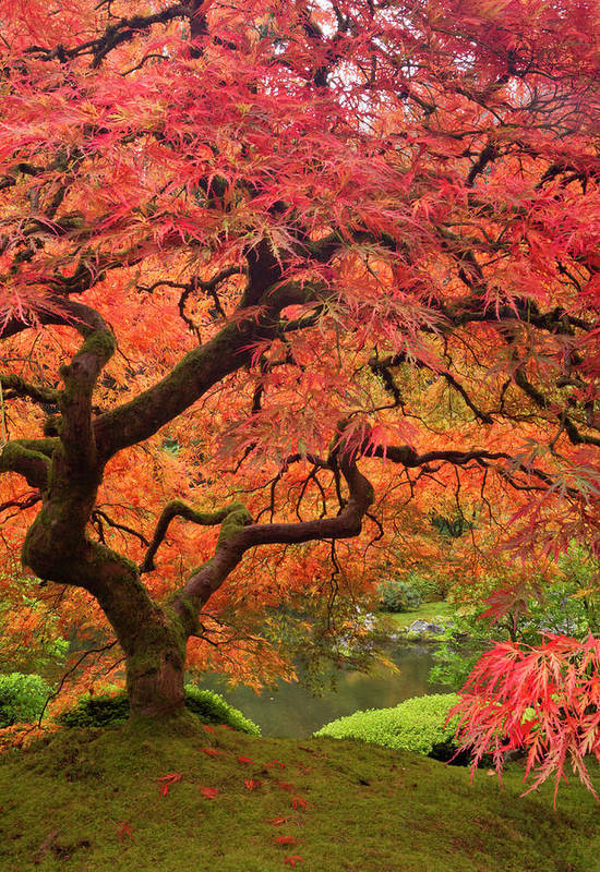 Japanese Maple In Fall Color Portland Art Print By Danita Delimont