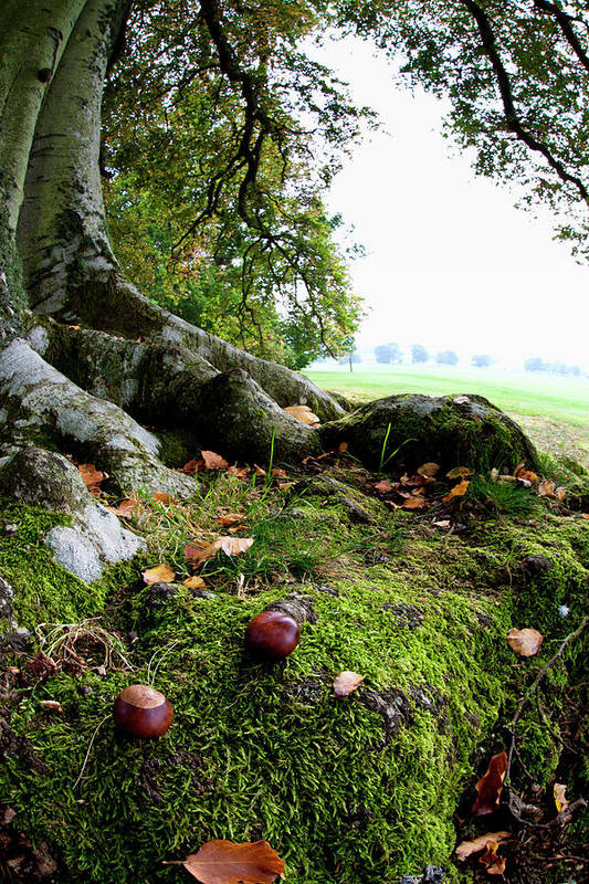 Nut Art Print featuring the photograph Nuts And Fallen Leaves At The Foot Of A by John Short / Design Pics
