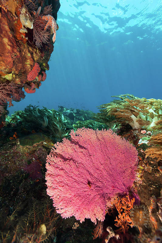 Underwater Art Print featuring the photograph Pink Gorgonian Sea Fan, Pura Island by Ifish