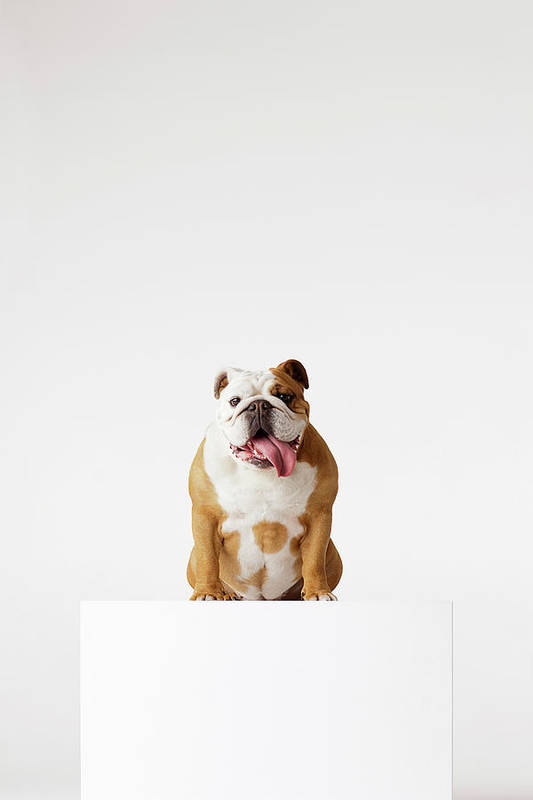 Pets Art Print featuring the photograph Portrait Of British Bulldog Sitting by Compassionate Eye Foundation/david Leahy