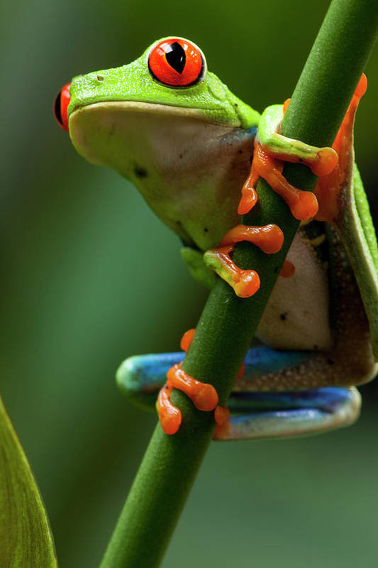 One Animal Art Print featuring the photograph Red-eyed Tree Frog, Costa Rica by Paul Souders
