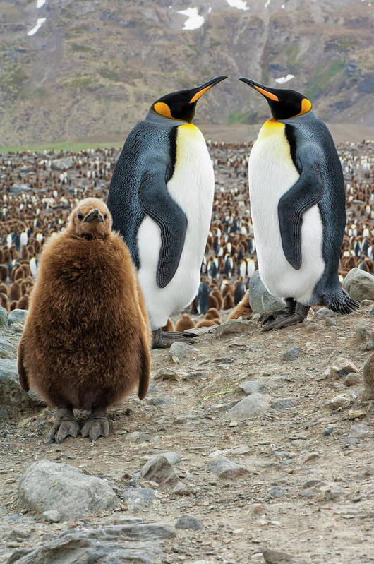 Animals In The Wild Art Print featuring the photograph Two King Penguins And A Chick by Gabrielle Therin-weise