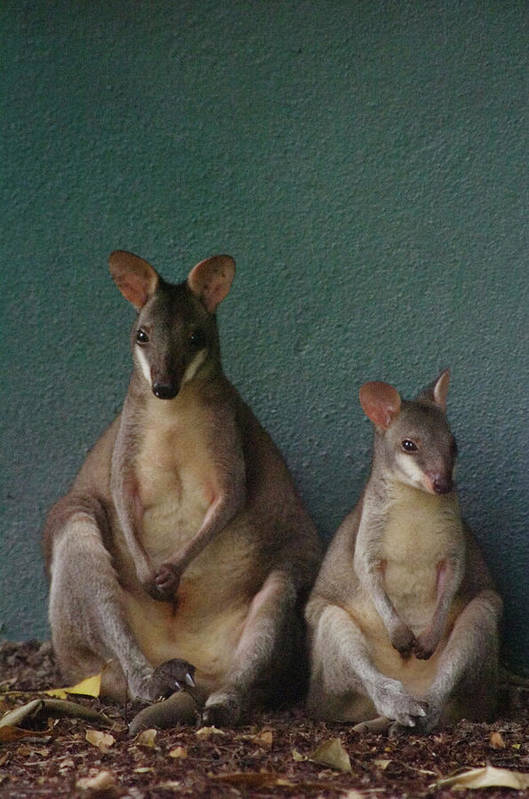 Animal Themes Art Print featuring the photograph Two Sitting Wallabies by Ming Thein / Mingthein.com