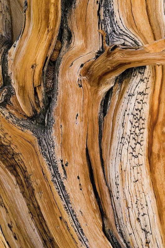 Weathered Art Print featuring the photograph Weathered Wood Of Ancient Bristlecone by Kevin Schafer