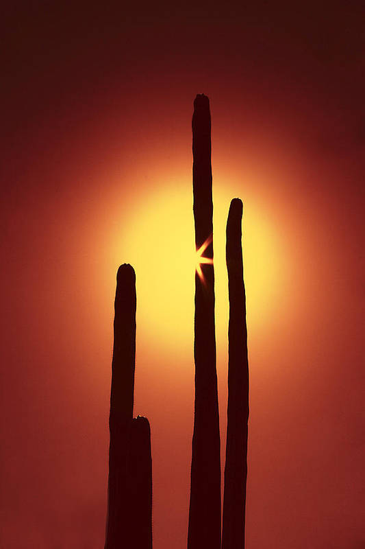 Sun Art Print featuring the photograph Encinitas Cactus by Andre Aleksis