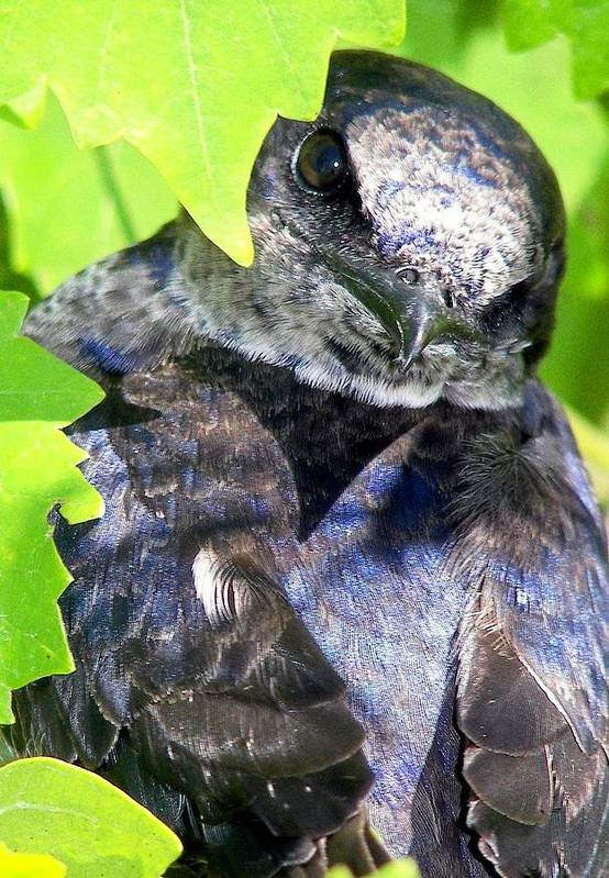 Blue Birds Print featuring the photograph Baby Bluejay Peek by Karen Wiles