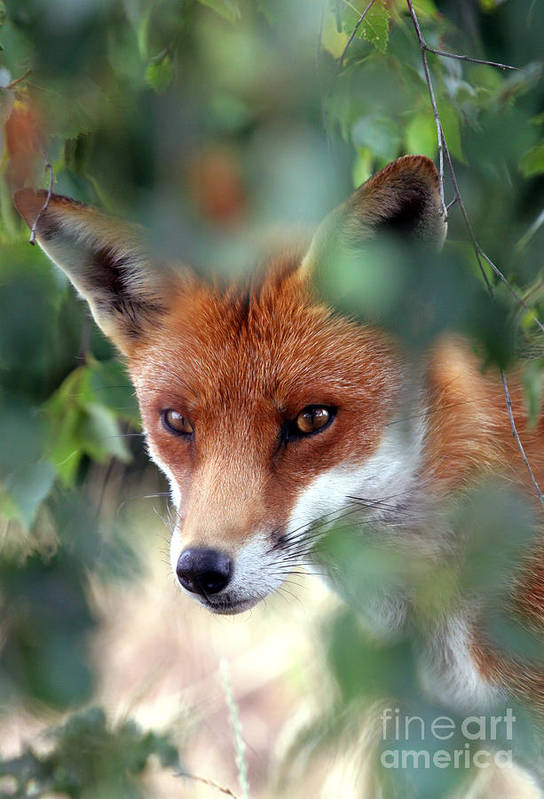 Red Art Print featuring the photograph Fox Through Trees by Tim Gainey