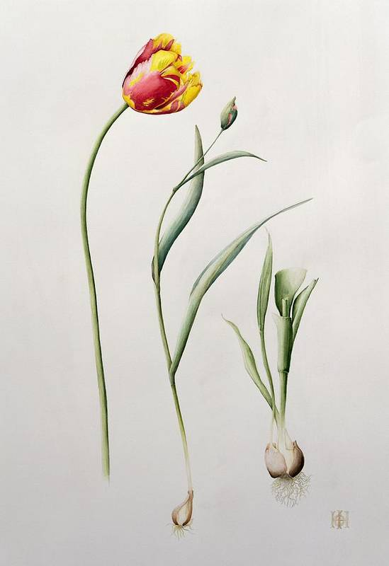 Botanical: Flowers 19th Art Print featuring the painting Parrot Tulip by Iona Hordern