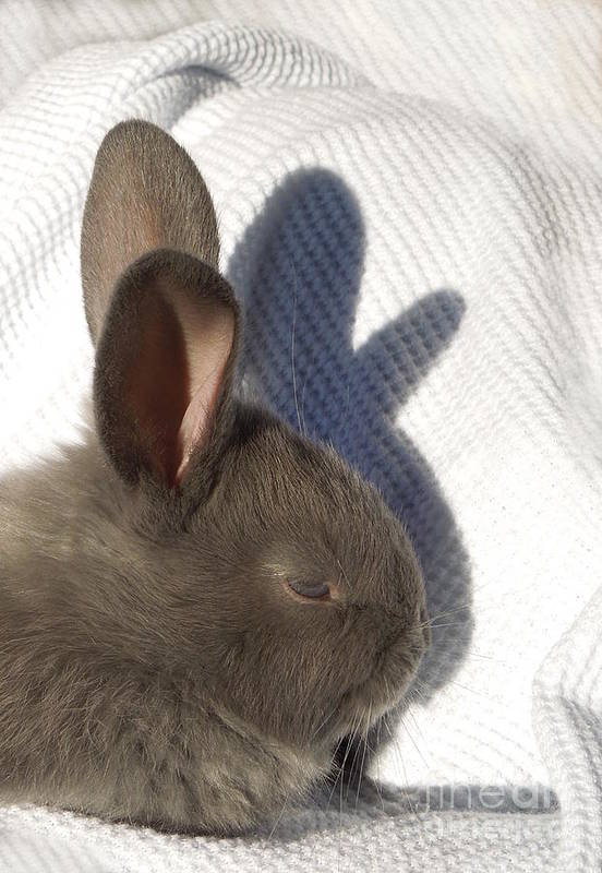 Rabbit Art Print featuring the photograph Shadow Puppet by Renee Trenholm