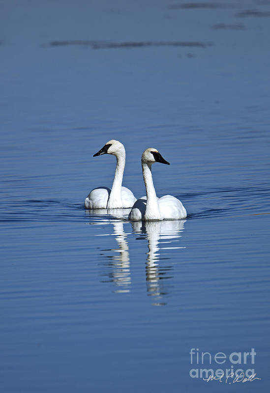 Trumpeter Swan Art Print featuring the photograph Trumpeter Swan Couple by Michael Waller