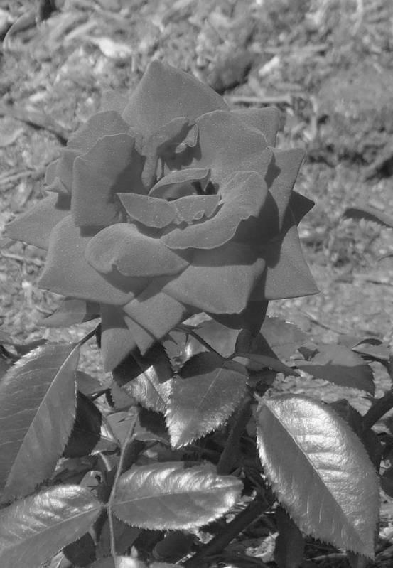 Rose Art Print featuring the photograph Velvet Rose by Pharris Art