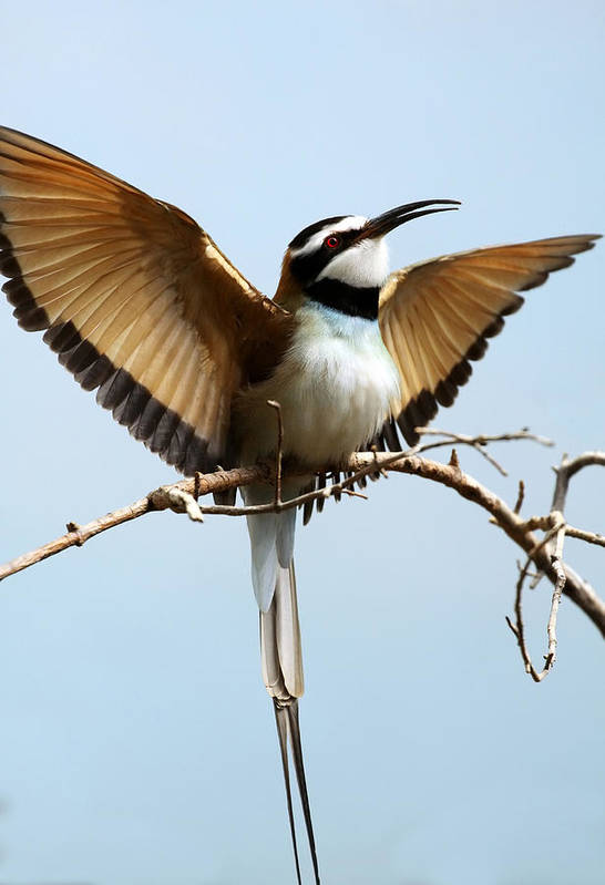 Bird Art Print featuring the photograph African Bee Eater by Brian Lee