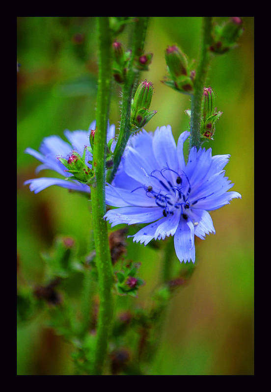 Wildflowers Of The Rocky Mountains Art Print featuring the photograph Blue Chicory Flower by Susanne Still