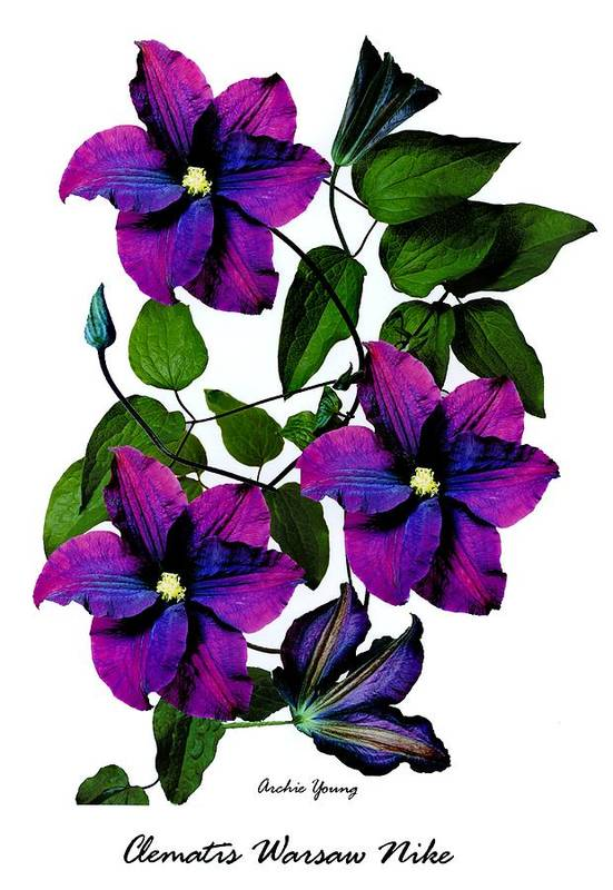 Beauty In Nature Art Print featuring the photograph Deciduous Climber (clematis Warsaw Nike) by Archie Young