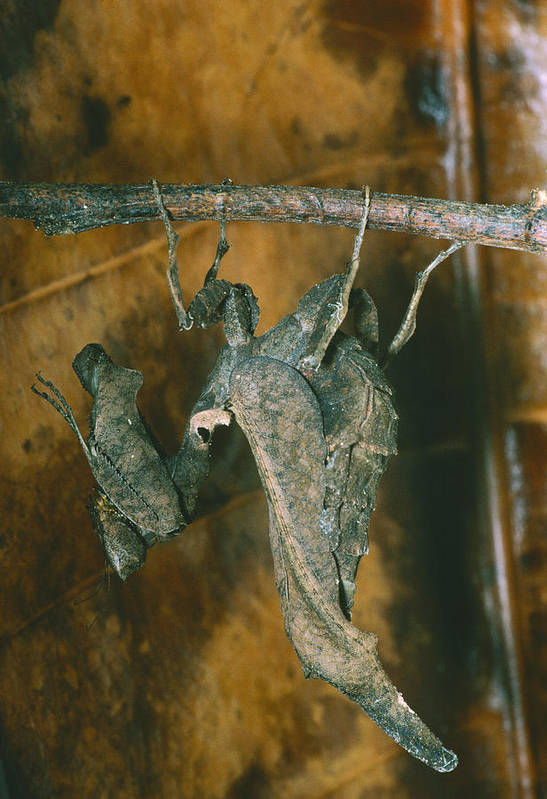 Dead-leaf Mantis Art Print featuring the photograph Female Dead-leaf Mantis by Dr George Beccaloni