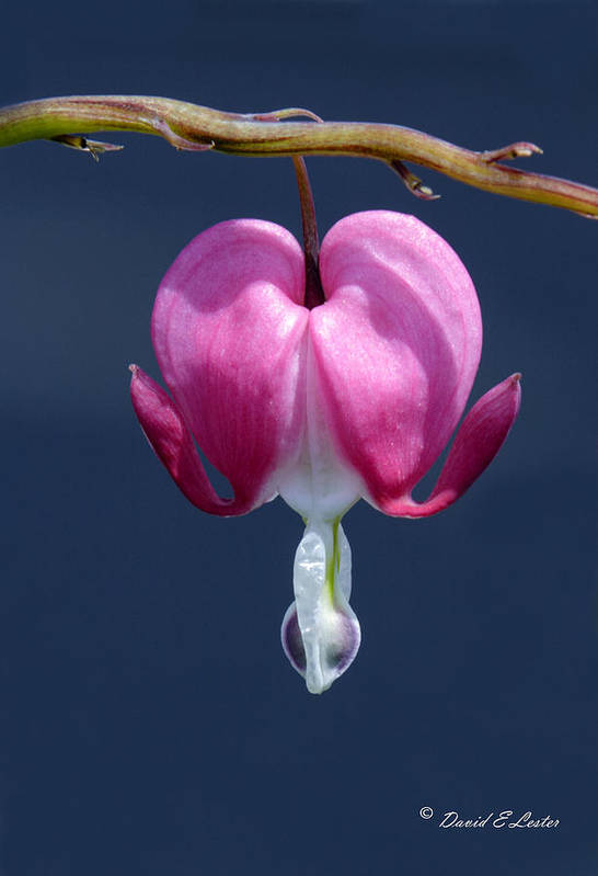 Flower Art Print featuring the photograph Lonely Heart by David Lester